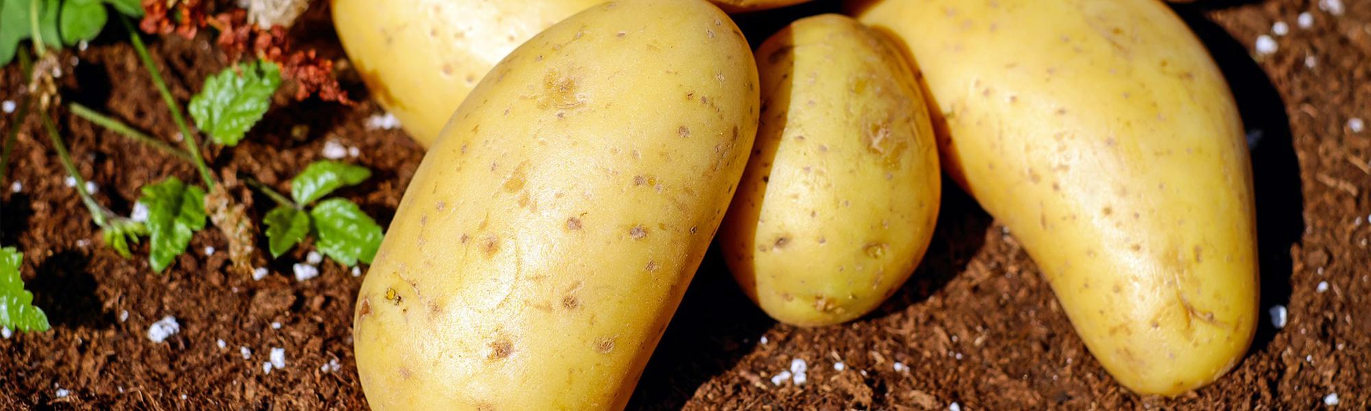 Umidificazione di patate e tuberi